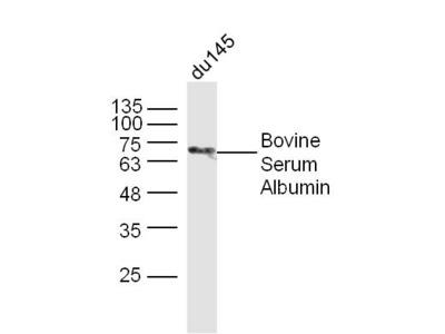 BSA Antibody