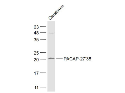 PACAP-27/38 Antibody