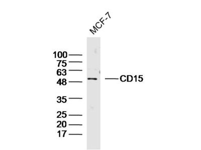 Anti-CD15 Antibody Products | Biocompare com