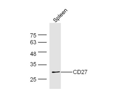 CD27/TNFRSF7 Antibody