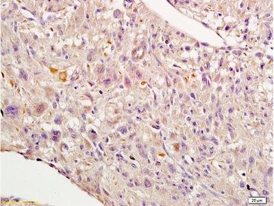 Nrf2 Antibody