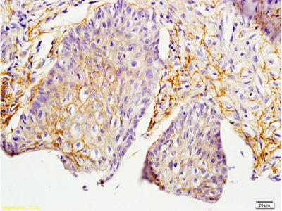 MIF Antibody