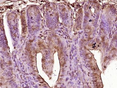 GIP Antibody