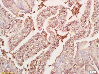 GDF8/MSTN Antibody