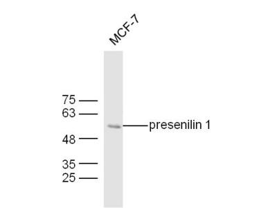 presenilin 1 Antibody