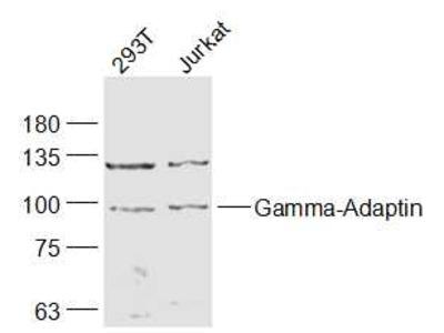 Gamma-Adaptin Antibody