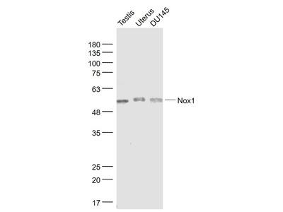 Nox1/NADPH oxidase 1 Antibody