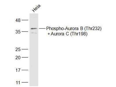 Aurora B (T232)/Aurora C (T198) Antibody