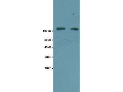 TIF1 beta(Ser824) Polyclonal Antibody