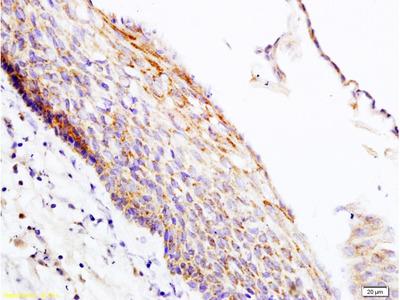 PER2/Period circadian protein 2 Antibody