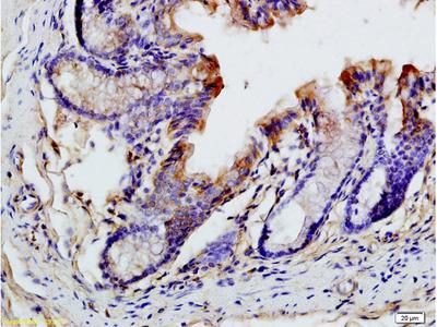 CCL19/MIP-3 beta Polyclonal Antibody