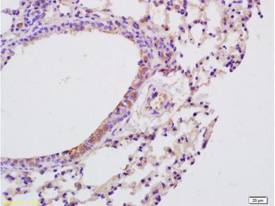 IL-9 Antibody