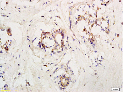 LIFR/CD118 Antibody