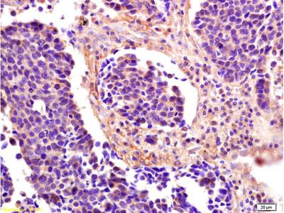 ICOS-L/B7-H2/CD275 Antibody