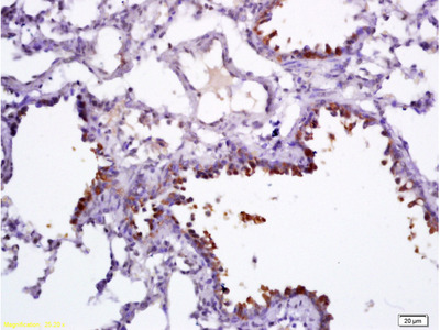 Uteroglobin Antibody