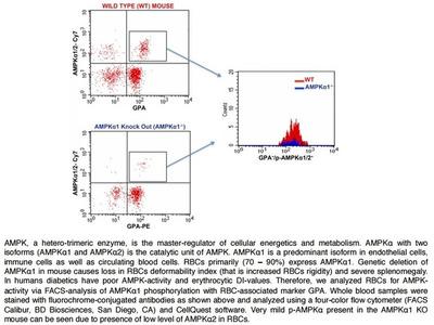 Glycophorin A Antibody