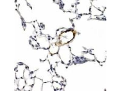 LYVE1 Polyclonal Antibody
