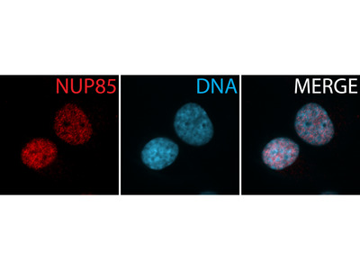 NUP85 antibody