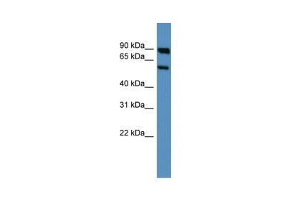 Htr3a antibody - middle region (ARP35615_P050)