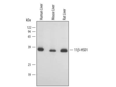 11 beta-HSD1 Antibody