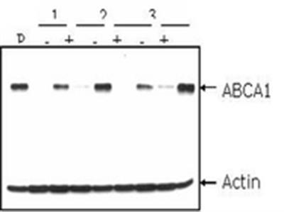 Anti-ABCA1 Antibody, clone AB.H10