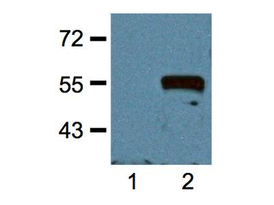 MYC Antibody (OAEA00011)