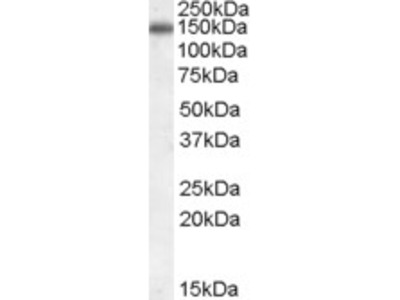 CILP Antibody (OAEB01146)
