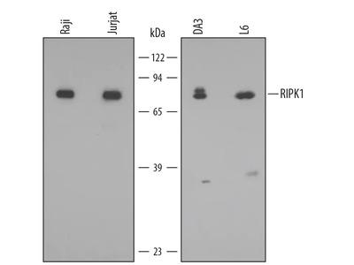 RIPK1 / RIP1 Antibody