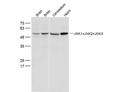 JNK1+2+3 Antibody