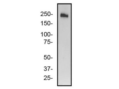 ABCA7 Antibody (7A1-144)