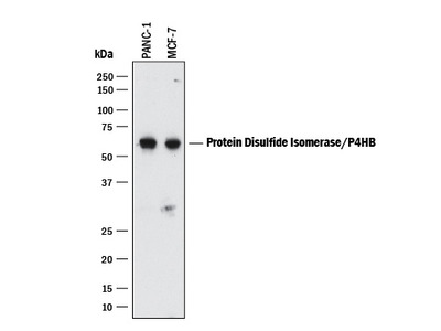 Protein Disulfide Isomerase /P4HB Antibody