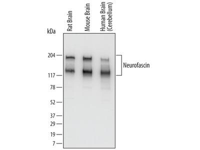 Neurofascin Antibody