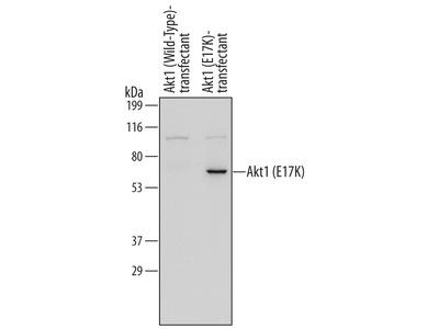 Human Akt1 (E17K Mutation) Antibody