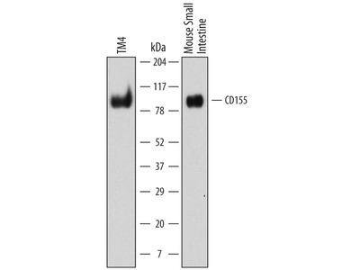 CD155 /PVR Antibody
