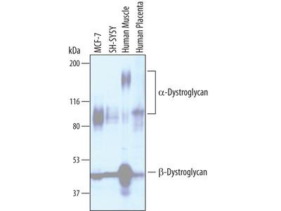 Dystroglycan Antibody