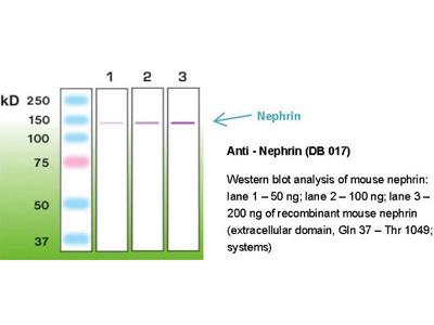 Anti - NEPHRIN