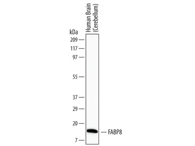 FABP8 / M-FABP Antibody