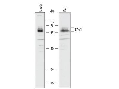 PAG1 Antibody