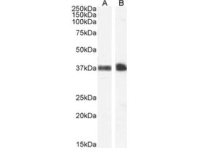 Goat Polyclonal Glycophorin A Antibody