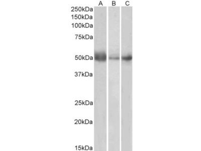 Indoleamine 2,3-dioxygenase /IDO Antibody
