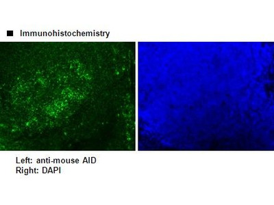 Anti-AID (Mouse) mAb