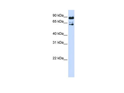 PPWD1 Antibody