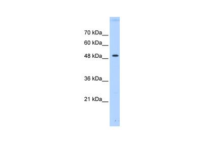PTPN1 Antibody