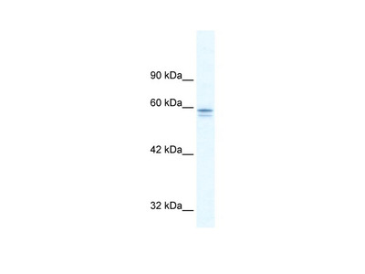 MTF1 Antibody