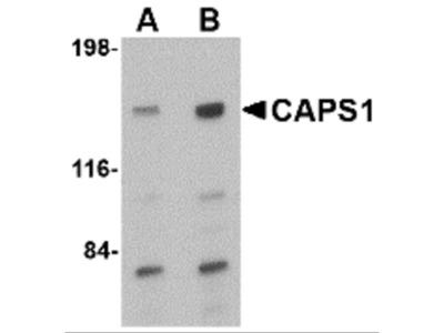 CAPS1 Antibody