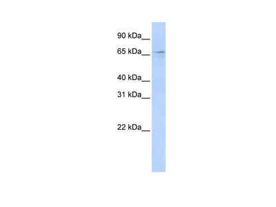 A1CF Antibody