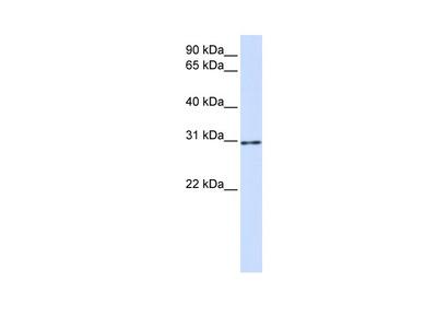 AKT1S1 Antibody