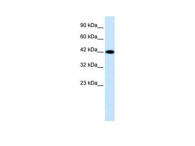 P2RX2 Antibody