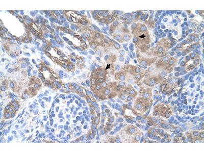 SILV Antibody