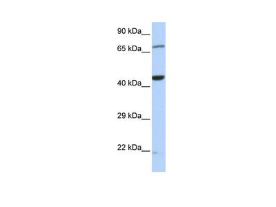 TUFM Antibody